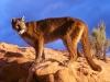 rough_terrain_mountain_lion.jpg