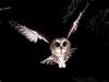 saw-whet_owl.jpg