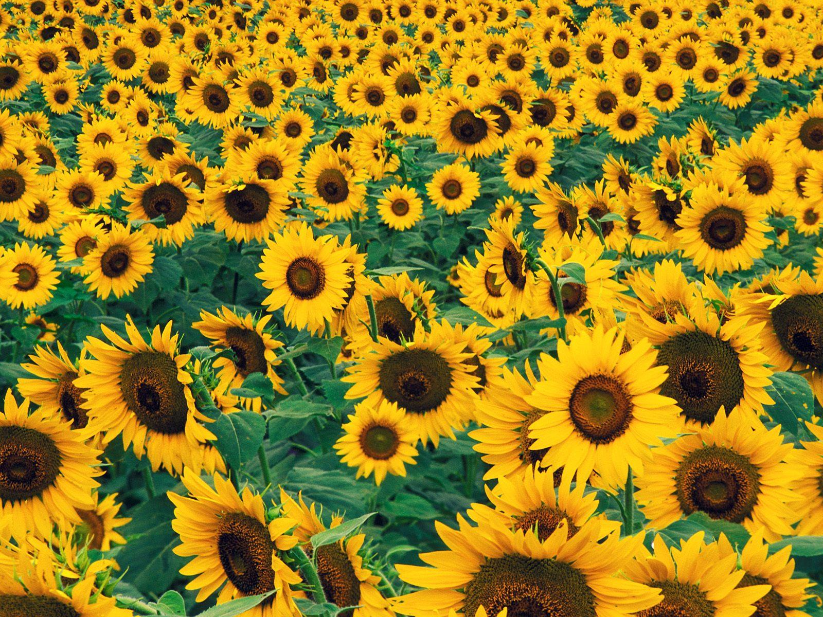 Sfondi con fiori sfondissimo sfondi screensaver gratis for Girasoli tumblr