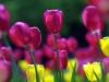 ws_spring_tulips_1680x1050.jpg