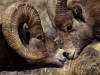 big_horn_ram_and_ewe.jpg