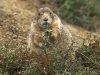 black-tailed_prairie_dog.jpg