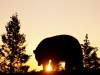 black_bear_at_sunrise.jpg