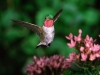 broadtail_hummingbird.jpg