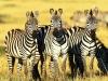burchells_zebras_masai_mara_kenya.jpg