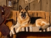 country_canine_german_shepherd.jpg