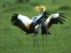 crowned_cranes_in_full_splendor.jpg
