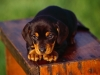 dachshund_puppy.jpg