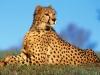 fast_predator_cheetah.jpg