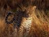 intense_focus_leopard.jpg