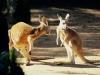 kangaroo_conversation_australia.jpg