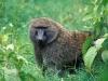 male_olive_baboon_lake_nakuru_national_park_kenya.jpg
