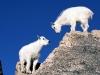 mountain_goat_kids.jpg