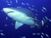 predator_sand_tiger_shark.jpg