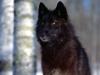 predatory_eyes_black_wolf.jpg