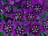 fiori-sfondi.jpg